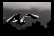 photo animaux oiseau mouette vol : Oiseau nb#14