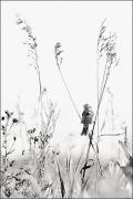 photo animaux oiseau moineau prairie champ : Oiseau nb#10