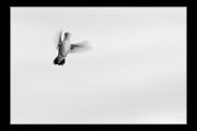 photo animaux oiseau ciel colibri : Oiseau nb#04