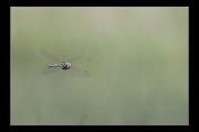 photo animaux libellule vol : Libellule #09