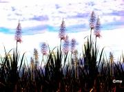 photo paysages canne ,a sucre : fleurs de canne