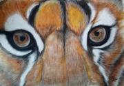 dessin animaux puma puma au pastel dessin regard dessin animalier : Regard puma