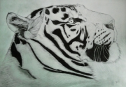 dessin animaux portrait tigre tigre blanc dessin animalier dessin animaux : tigre blanc