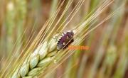 photo animaux nature insecte photo jardin : Punaise des blés