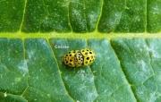 photo animaux insecte photo nature coccinelle : Le couple de coccinelles jaune