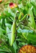 photo animaux insecte photo jardin nature : La mante religieuse au jardin