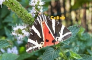 photo animaux papillon insecte photo nature : Papillon sur fleurs de menthe