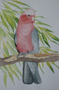 tableau animaux oiseaux cacatoes australie : cacatoes rosalbin