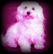 photo animaux chien : bichonne