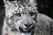 photo animaux tigre sauvage montre les crocs gerard vouillon : Félin des neiges