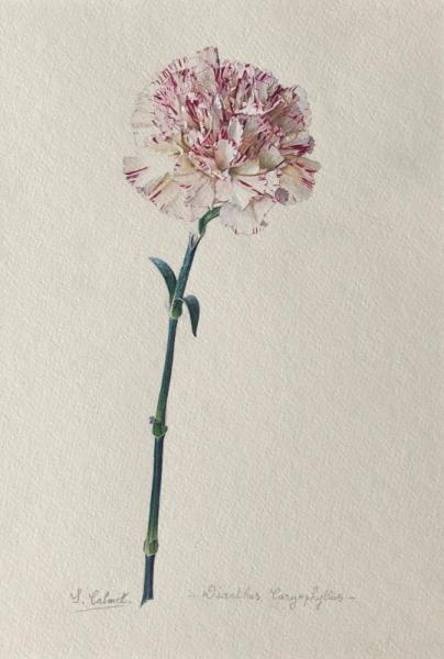 TABLEAU PEINTURE oeillet oeillet des fleuristes fleur botanique Fleurs Aquarelle  - Oeillet des Fleuristes