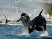 photo animaux orque baleine : Orca 2