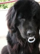 photo animaux bebe chien tetine : Tétine