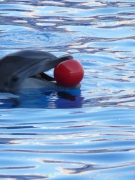 photo animaux dauphin jeu ballon : Dauphin Ballon Rouge