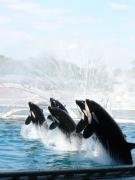 photo animaux orque baleine : Orca 5