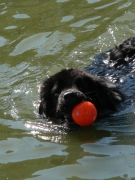 photo animaux chien ballon nageur : Ballon Rouge
