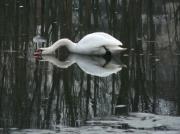 photo animaux cygne glace gel hiver : Cygne sur Glace