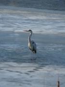 photo animaux heron hiver gel : Héron sur Glace