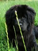 photo animaux terre neuve chien animaux : Bucolique