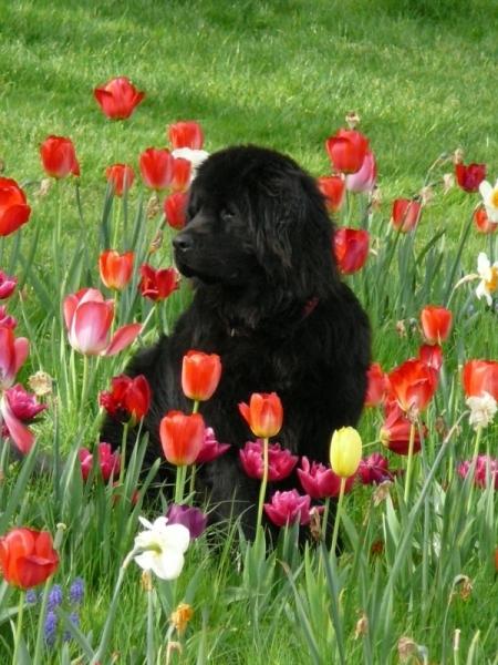 PHOTO  - Tulipe