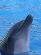 photo animaux dauphin : Dauphin Ballon Rouge