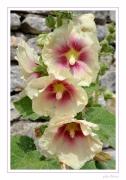 photo fleurs ile de re fleurs roses tremieres : roses trémières