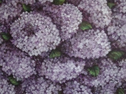 tableau fleurs fleurs violet hottensias : Hortensias
