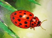 tableau animaux coccinelle insecte : Coccinelle