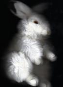 photo animaux animal lapin : Alice's rabbit