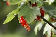 photo fruits groseille fleur jardin : Groseille