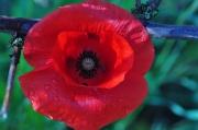photo fleurs rouge coquelicot coquelicot catherine coquelicot by cathys : rouge coquelicot