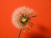photo fleurs rouge pissentli pissenlit by cathyso pissenlit catherine : rouge pissentlit