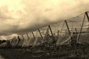 photo paysages pommiers by cathyso : sous le ciel orageux les pommiers