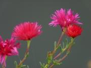 photo fleurs ficoides rouge fleur : ficoîdes