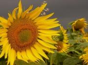 photo fleurs tournesols by cathys les tournesols : les tournesols