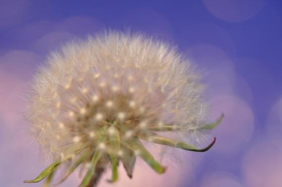 PHOTO bleu pissenlit by ca Fleurs  - bleu pissenlit