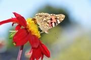photo fleurs guepe et dahlia papillon et dahlia : le papillon, la guêpe et le dahlia rouge