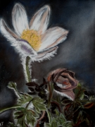 tableau fleurs : anemone