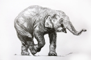 dessin animaux de poret dessin animalier artiste animalier elephanteau : Dessin d'elephanteau