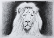 dessin animaux de poret dessin animalier artiste animalier lion : Dessin de Lion