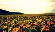 photo paysages champs tournesols fleurs pre : Tournesols mourants