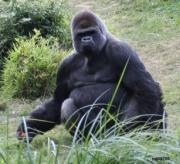 photo animaux nature portrait animaux : Gorille