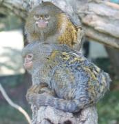 photo animaux portrait nature animaux : singes liliputiens