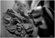photo fleurs jjdn photo la rose : La rose