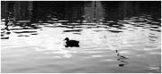 photo scene de genre jjdn photo nice la solitude du canar : La solitude du canard