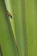 photo animaux gecko lezard reptile reunion : Gecko vert