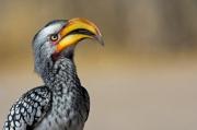 photo animaux calao oiseaux nature afrique : Calao noir et blanc