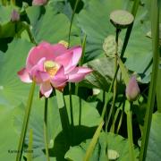 photo fleurs lotus fleur du lotus : Lotus