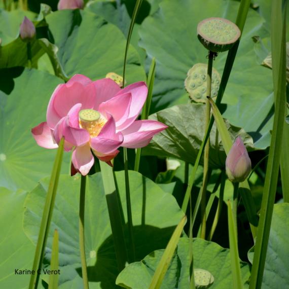 PHOTOGRAPHY lotus fleur du lotus Fleurs  - Lotus