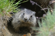 photo animaux marmotte alpes autriche : Marmotte à l'entrée de son terrier